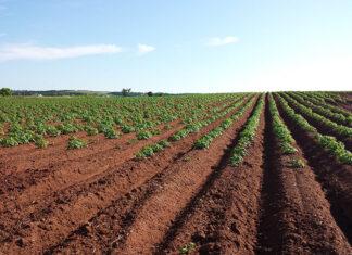 Jak zwalczać chwasty w plonach ziemniaka